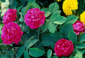 Blüten von Rosa damascena 'Rose de Resht' (Historische Rose), öfterblühend
