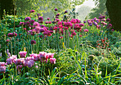 PETTIFERS Garden, OXFORDSHIRE: SPRING BORDER with Tulip 'Blue Parrot' , ALLIUM 'Purple Sensation' AND NECTAROSCORDUM SICULUM SUBSP BULGARICUM