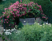THE PRIORY, BEECH HILL, Berkshire: WOODEN BENCH with AMERICAN PILLAR ROSE TRAINED OVER TRELLIS, White COSMOS AND YEW HEDGE
