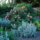 Rosa 'Aloha' (Strauchrose), Artemisia 'Silver Queen',