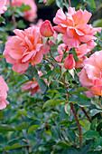 Rosa 'Zambra ' syn. 'Zambras','Meicurbos' (Floribundarose), öfterblühend