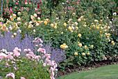 Rosa 'Graham Thomas' (Englische Rose, gelb, von Austin), 'Lovely Meilland'