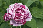 Rosa 'Ferdinand Pichard' (Rose), Historische Rose, öfterblühend, duftend