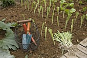 Plantation of Allium porrum (leek) in August, basket