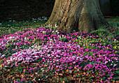 Cyclamen (Alpenveilchen), Galanthus (Schneeglöckchen)