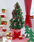 Picea glauca 'Conica' (Zuckerhutfichte) als Mini - Weihnachtsbaum