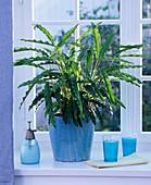Calathea rufibarba (Korbmaranthe) in türkisem Übertopf am Fenster