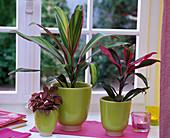 Cordyline fruticosa 'Kiwi' und 'Red Edge' (Keulenlilie), Fittonia (Fittonie)