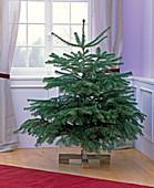 Abies nordmanniana (Nordmanntanne) als ungeschmückter Weihnachtsbaum