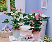 Anthurium 'Pink Champion' (Flamingoblume) dekoriert mit Peddigrohr