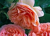 Rosa 'Abraham Darby' (Englische Strauchrose)