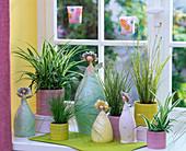 Chlorophytum (Grünlilien), Scirpus (Simsen), Carex (Seggen) am Fenster