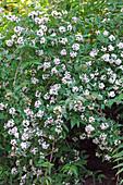 Abelia mosanensis (Abelie), Heimat Korea