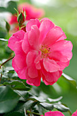 Rosa 'Bad Birnbach' (Beetrose), öfterblühend