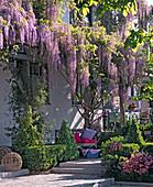 Wisteria floribunda (Blauregen) an Pergola am Haus