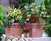 Helleborus niger (Christrose), Helleborus orientalis (Lenzrose)