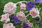 Rosa 'New Dawn' (Kletterrose), öfterblühend, leichter Apfelduft
