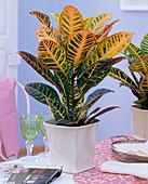 Codiaeum variegatum (Kroton)