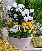 Rhododendron simsii (Zimmerazalee) , Stämmchen, weiß gefüllt