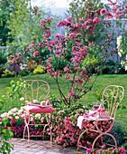 Malus 'Profusion' (Zierapfel) mit dunkelrosa Blüten