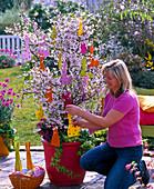 Junge Frau schmückt Prunus kurilensis 'Ruby' (rosa Kurilenkirsche)