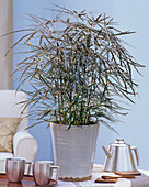 Dizygotheca elegantissima syn Schefflera elegantissima (Fiederaralie)