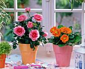 Rosa (Topfrose, rosa), Gerbera (orange) am Fenster, Blütenblätter