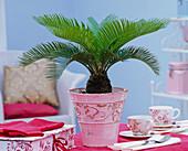 Cycas revoluta (Sagopalmfarn) in rosa Reliefübertopf auf dem Tisch