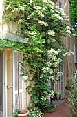 Hydrangea petiolaris (Kletterhortensie) an Hauswand