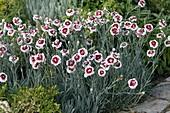Dianthus x allwoodii 'Alice' (Federnelken)