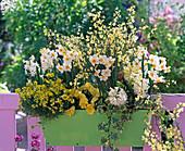 Gelb-weißer Duftkasten : Narcissus (Narzissen), Cytisus (Ginster), Erysimum