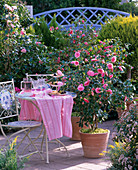 Camellia japonica 'Mrs. Tingley' (Kamelie)