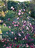 Camellia japonica 'Nuccio's Pearl' (Kamelie)
