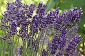 Lavandula 'Hidcote' (lavender)