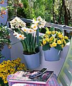 Narcissus 'Geranium' (Narzissen), Primula Belarina 'Butter Yellow'