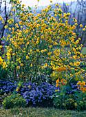 Kerria japonica 'Pleniflora' (Ranunkelstrauch)
