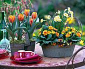 Tulipa 'Princess Irene' (Tulpen), Narcissus 'Minnow' (Narzissen)