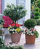 Unterpflanzte Stämmchen: Prunus laurocerasus (Kirschlorbeer), Buxus