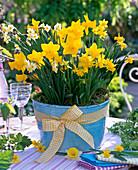 Narcissus 'Carlton' 'Tete a Tete' 'Minnow' (Narzissen)