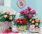 Rosa (Topfrosen), pink, rot, lachs und orange