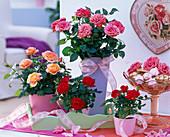 Rosa (Topfrosen), rot, lachs und pink in Übertöpfen