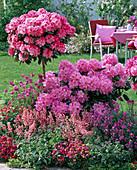 Rhododendron 'Scintillation' und yakushimanum 'Arabella'