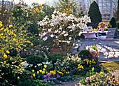 Magnolia stellata (Sternmagnolie) im Frühlingsgarten