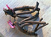 Paeonia (Pfingstrose), Wurzelrhizome mit Knospen