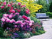 Rhododendron (Alpenrosen), Aquilegia (Akeleien)