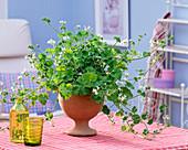 Pelargonium odoratissimum (Duftgeranie) mit Apfelduft