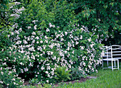 Rosa multiflora (Wildrose), kleinblütig, einmalblühend, duftend