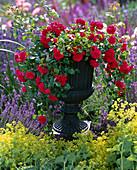 Rosa 'Sorrento' (Bodendeckerrose), robust, öfterblühend, kein Duft