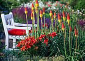 Lilium asiaticum 'Red Dwarf' (Lilien), Kniphofia uvaria (Fackellilie)