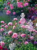 Rosa 'Botticelli' (Kleinstrauchrose), sehr gesund,
